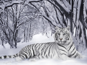 ConHo_OngCop_Hotrang_WhiteTiger_PantheraTigrisNLS