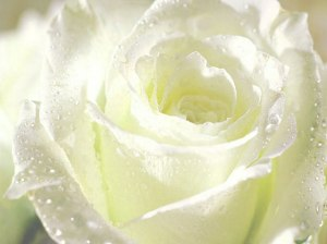 1235393809_flower_-_white_rose_for_