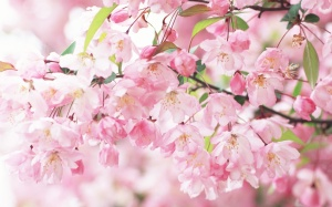 sakura-flower-spring-nature
