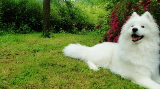 6984462-samoyed-dog