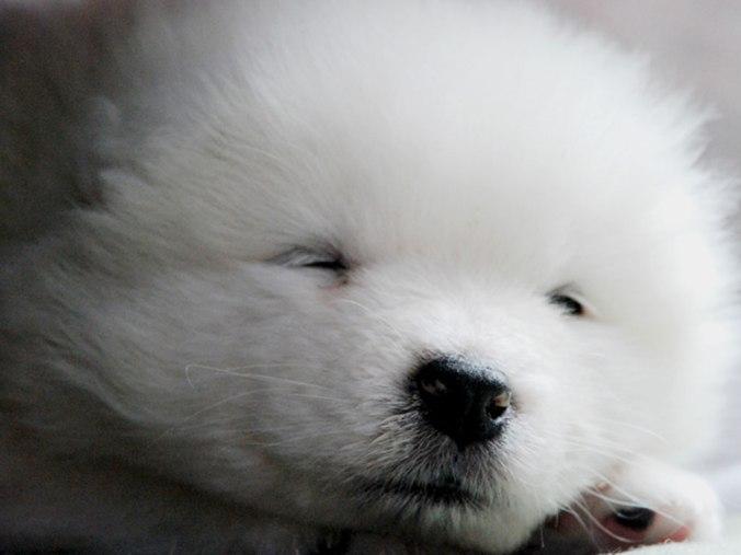 baby-face-of-samoyed-puppy-dog-breed