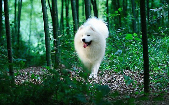 Siberian-Samoyed-07-HD-Wallpaper