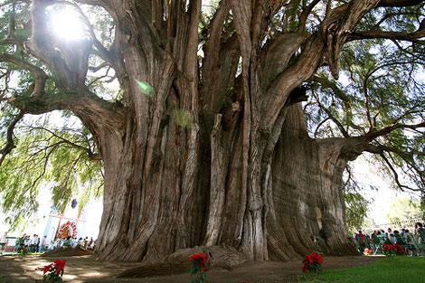 Bách xanh nghìn năm (cái cây ở Thần Thụ Cung)