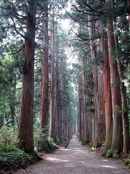 Liễu sam (Còn gọi là bách Nhật Bản, tuyết tùng Nhật Bản, họ bách, chi bụt mộc, cây gỗ lâu năm)