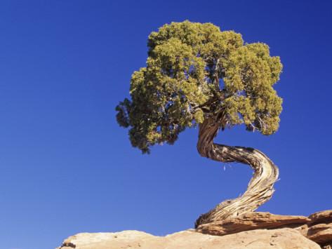 Bách xù (cây mọc kiểu xoắn thân điển hình, sinh trưởng đơn độc)